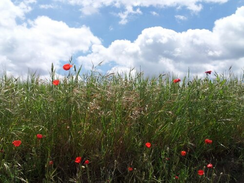 Poppies and blue sky on the Camino